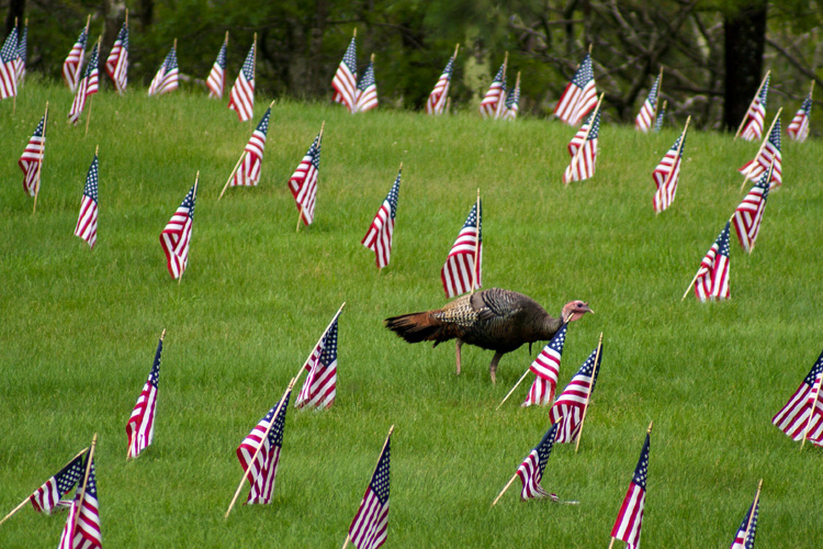 A wild turkey walks through a field of grass filled with small American flags