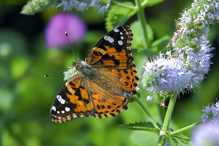 Painted Lady Butterfly © Sophia Sobel