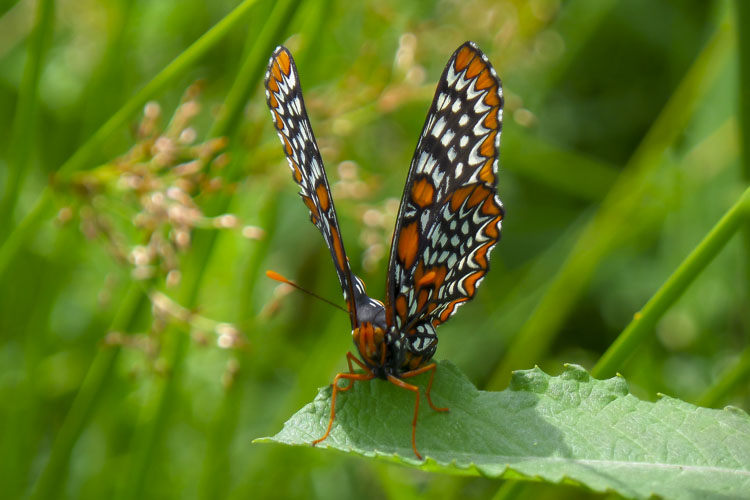 Baltimore Checkerspot Butterfly © Jessie Fries