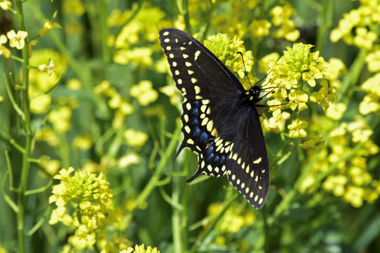 Black Swallowtail Butterfly © Mike Lowery