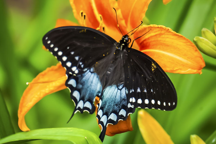 Spicebush Swallowtail Butterfly © Christine St. Andre