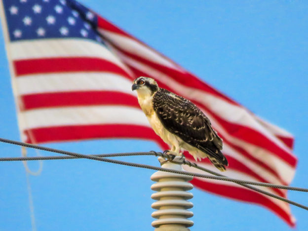An osprey perched on a power line with an American flag flying in the background