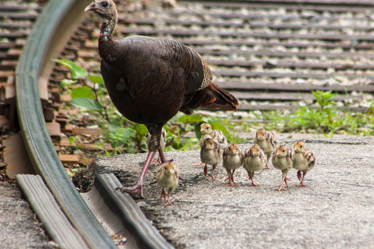 Wild Turkey Poults with Hen © Elizabeth Fabiano