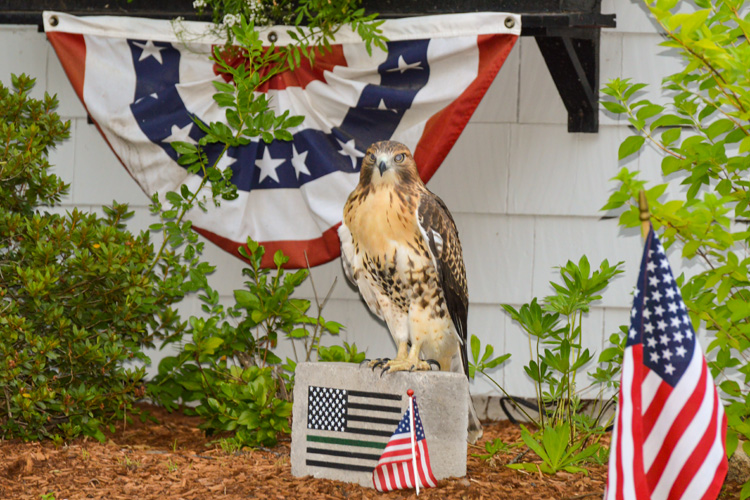 A Red-tailed hawk perches on a rock in the garden of a home with an American flag in the foreground and patriotic bunting behind it.