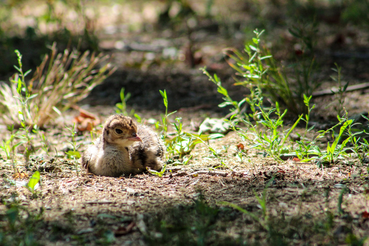 Wild Turkey Poult © Cheryle Yankun