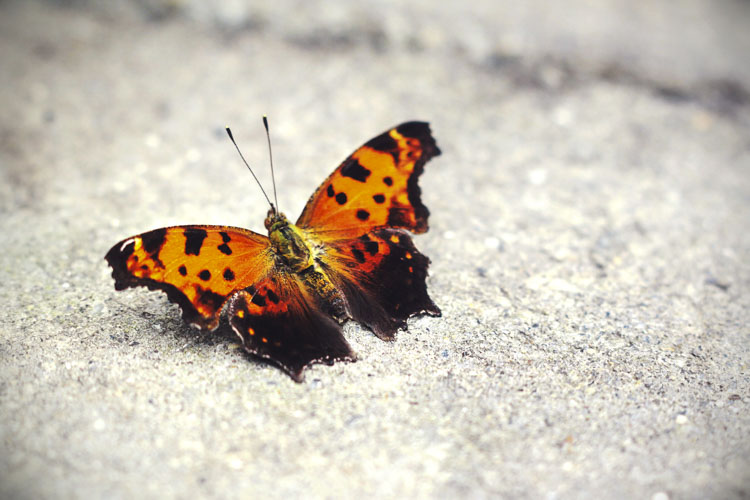 Eastern Comma Butterfly © Lena Mirisola