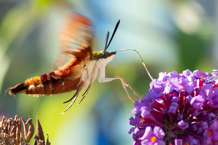 Hummingbird Clearwing Moth © Susumu Kishihara