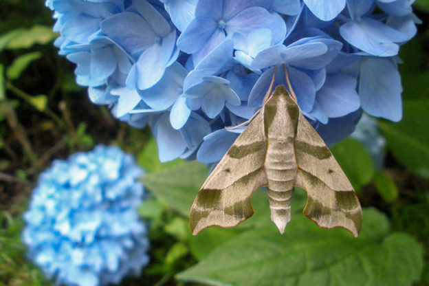 Virginia Creeper Sphinx Moth © Andrea White
