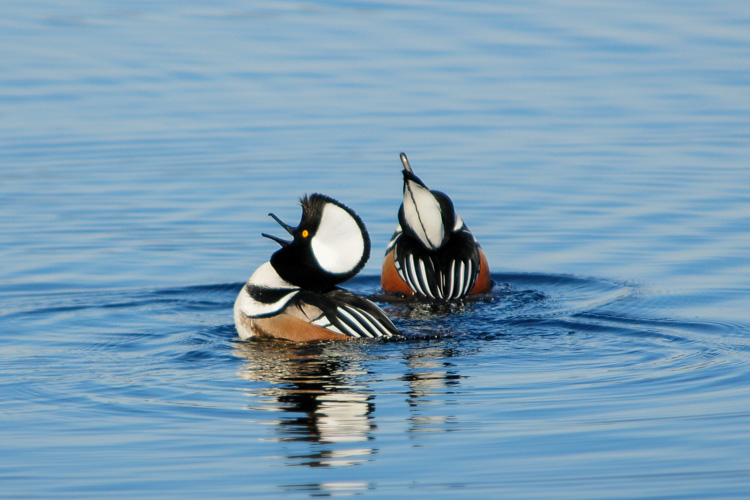 Hooded Mergansers (male) © Nathan Goshgarian