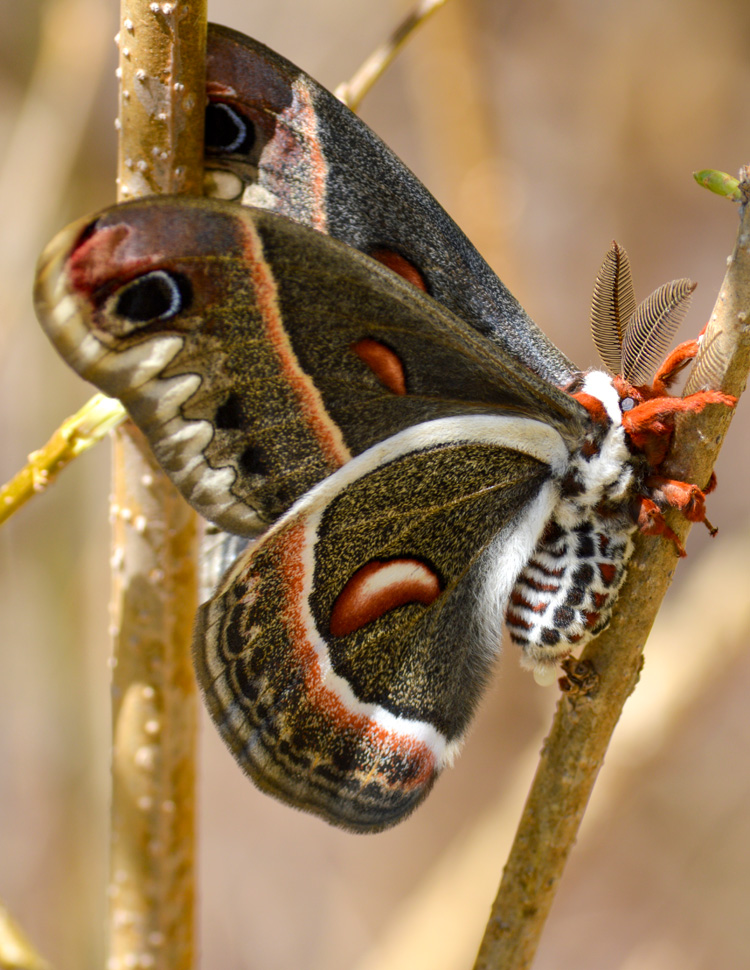 Cecropia Moth © Suzette Johnson
