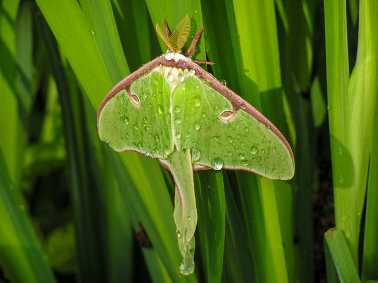 Luna Moth © Jane Morrisson
