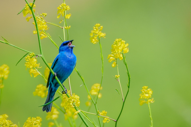 Indigo Bunting © Amy Powers-Smith