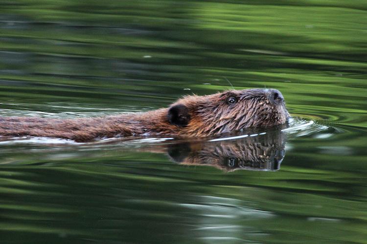 Beaver © Karen Riggert