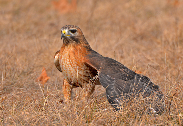 Red-shouldered Hawk © Lee Millet