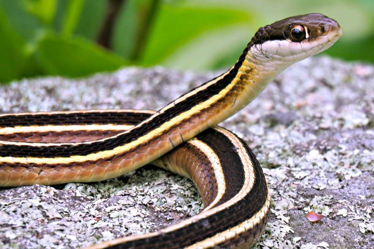Eastern Ribbon Snake © Kathy Diamontopoulos