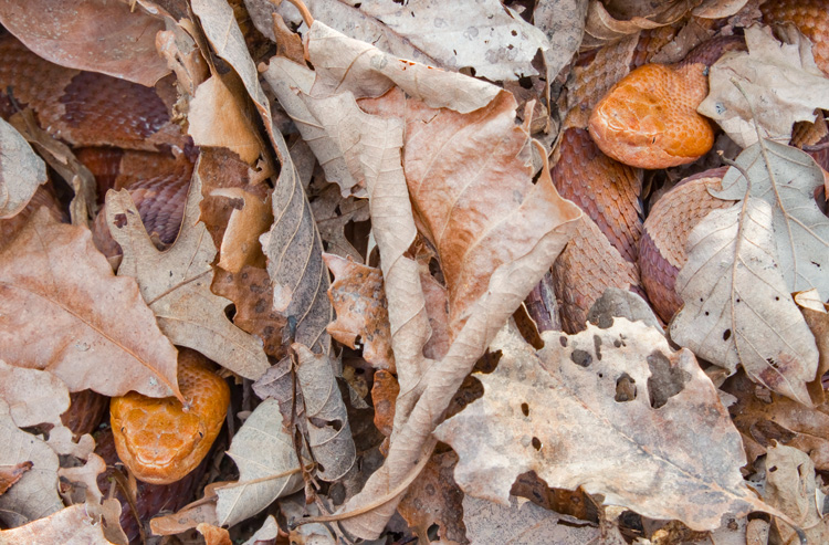 Northern Copperheads © Mark Lotterhand