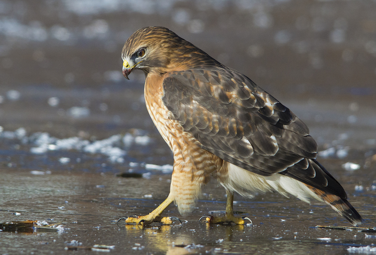 Red-shouldered Hawk © Sandra Taylor