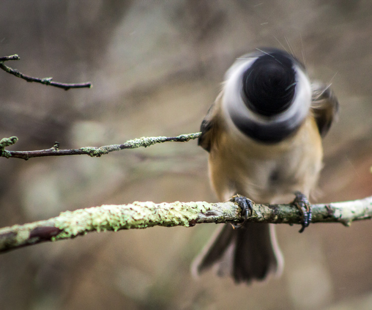 Black-capped Chickadee © Chad Parmet