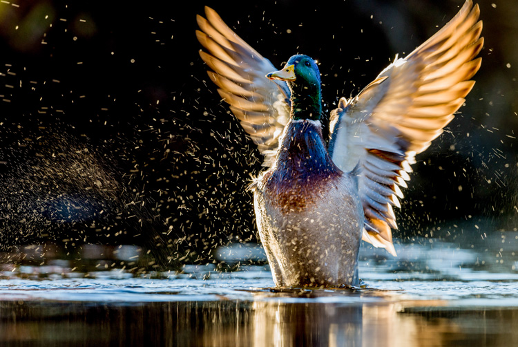 Mallard (male) © Srimanth Srinivasan