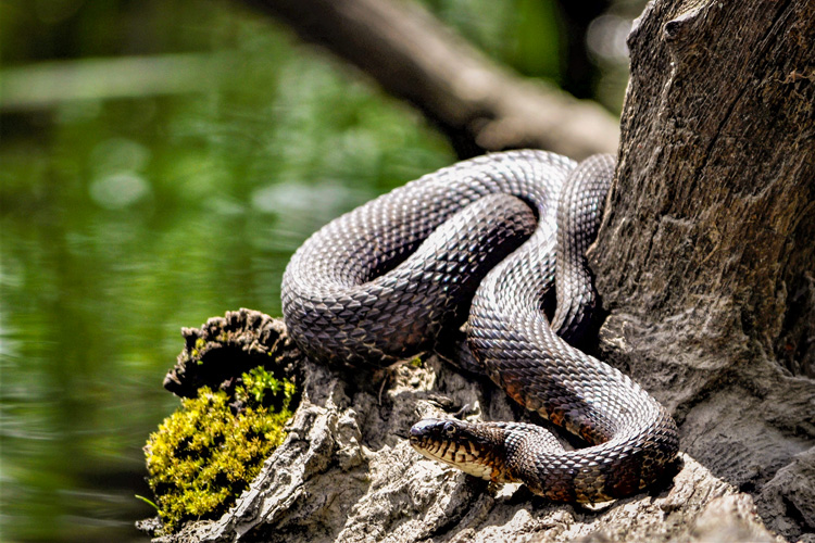 Northern Water Snake © Holland Hoagland