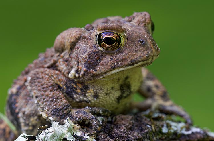 American Toad copyright John Yurka