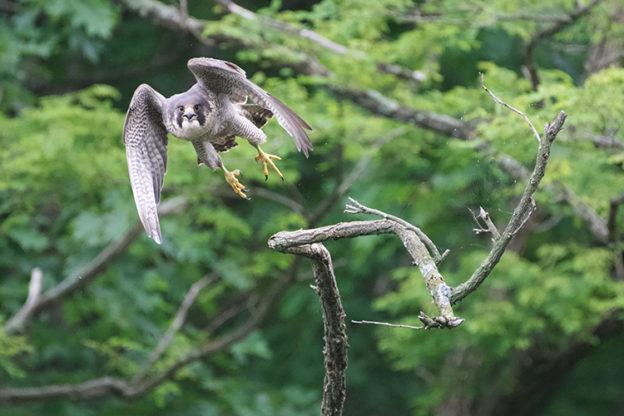 Peregrine Falcon Tom Skala