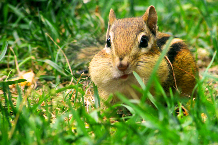 Eastern Chipmunk © Colleen Bruso