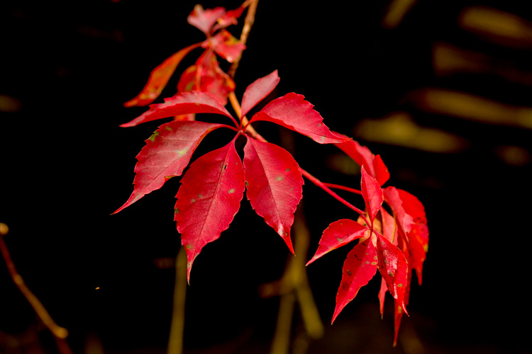 Virginia Creeper © Joan Lacey