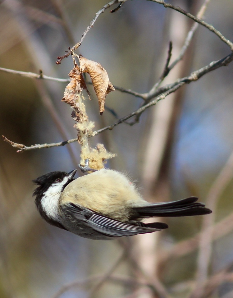 Black-capped Chickadee © Kim Caruso