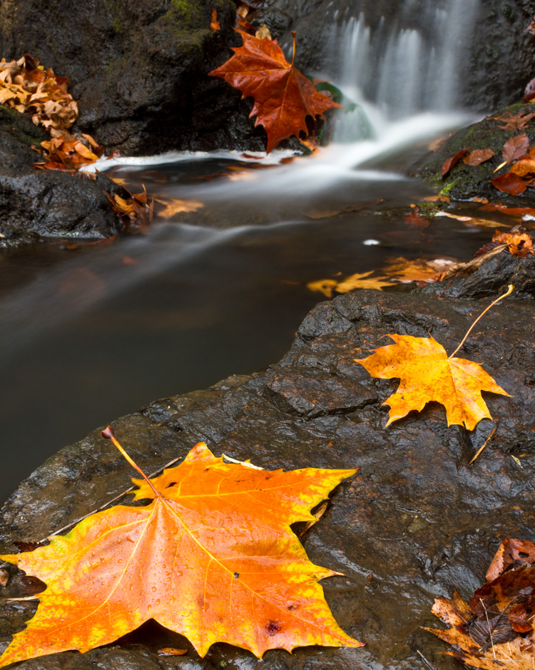 Fall sugar maple leaves and waterfall © Michael Rossacci