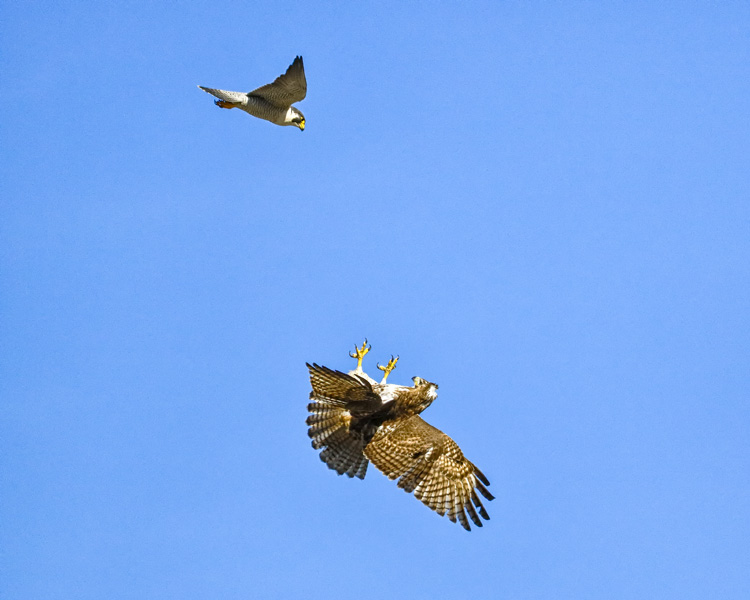 Peregrine Falcon (top) and Red-tailed Hawk (bottom) © Ramkumar Subramanian