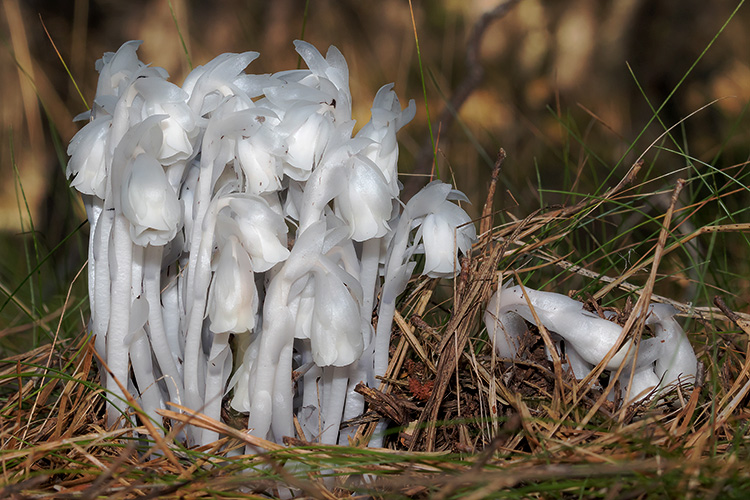 Indian Pipe © A Grigorenko