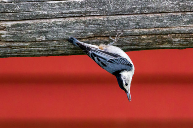 White-breasted Nuthatch © Jorge Tavares