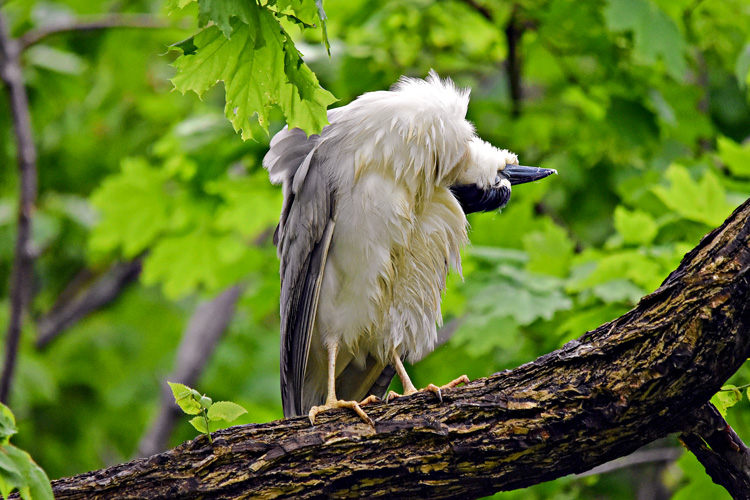 Black-crowned Night-Heron © Lisa Irwin