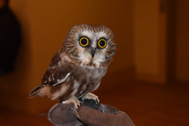 Northern Saw-whet Owl Janice Berte