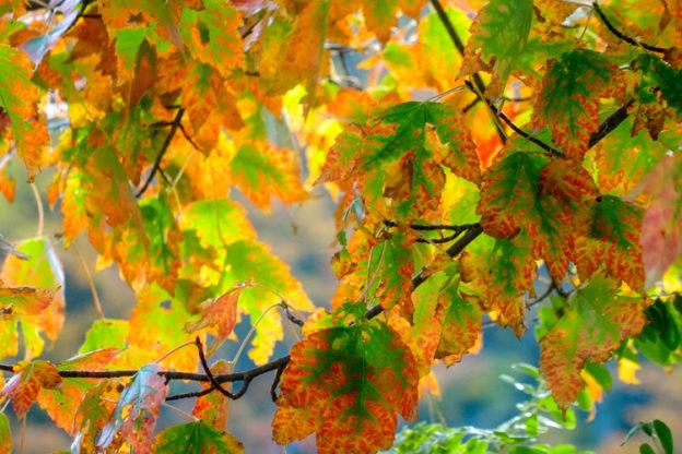 Red Maple Leaves © Renee Sack