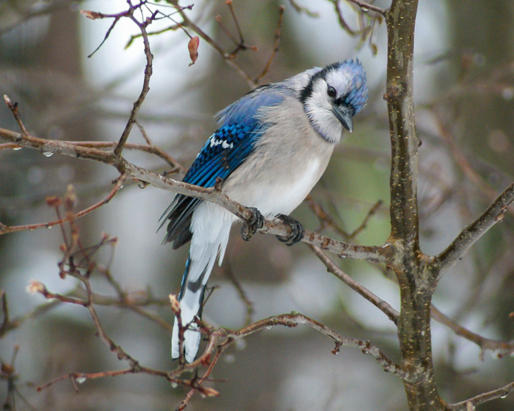 Blue Jay © Sue Feldberg