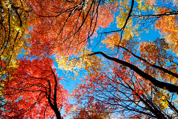 Looking up at a colorful canopy of red, orange, and yellow leaves against a bright blue sky © Lian Bruno
