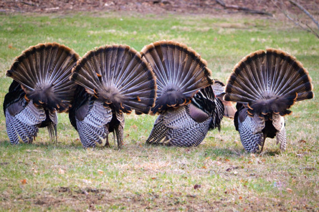 Wild Turkey © Brad Dinerman