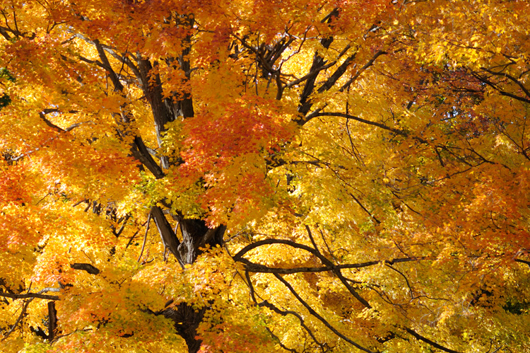 A vibrant orange and yellow tree top © Brad Millman