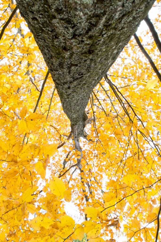 Looking straight up a tree trunk at a vibrant yellow canopy © Elizabeth Ninemire