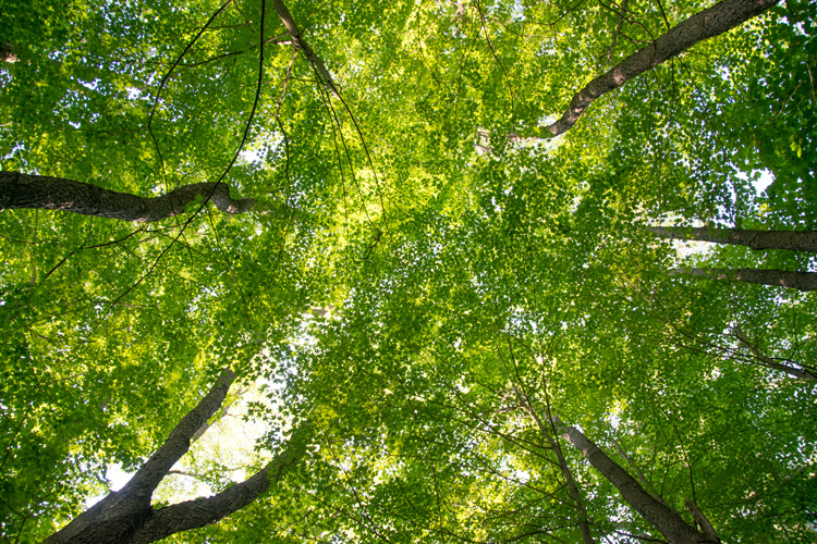 Looking straight up at a green forest canopy © Elizabeth Ninemire