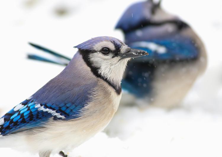 Blue Jays © Jonathan Eckerson