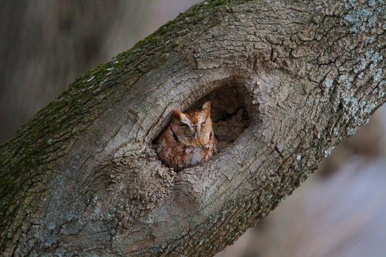 Eastern Screech-Owl © Kim Caruso