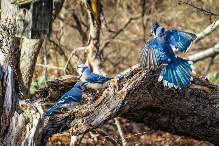 Blue Jays © Jillian Alexander
