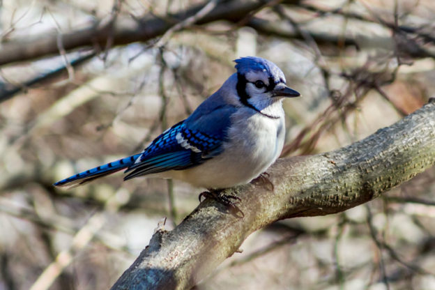 Blue Jay © William Zhen