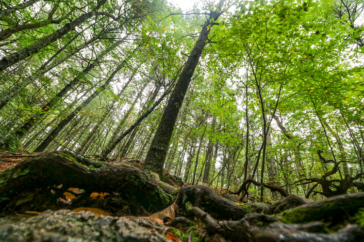 Looking up at a green forest canopy from the ground with a tangle of roots in the foreground © Carrie Coffey