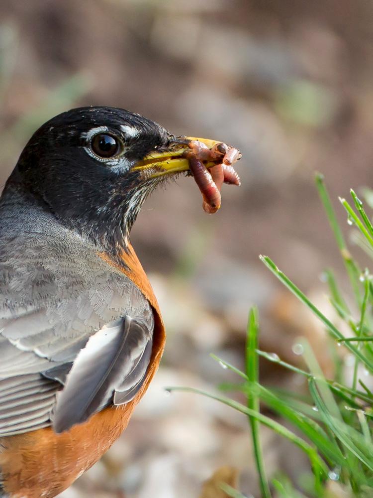 American Robin © Raju Murthy