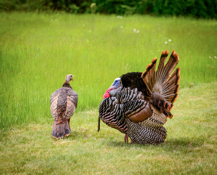 Wild Turkey © Jeffrey Dannay