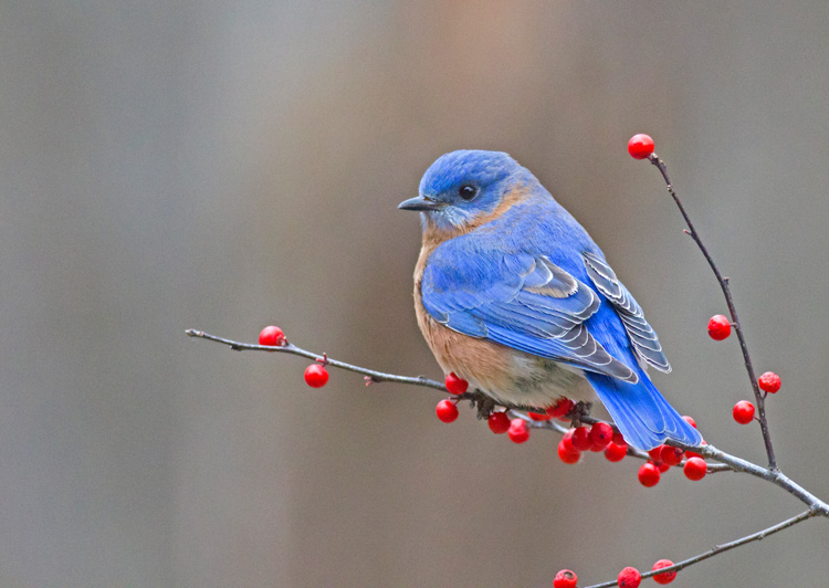 Eastern Bluebird on Winterberry © Cheryl Rose